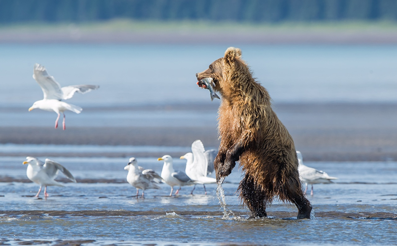 Desktop Wallpapers Grizzly Fish Gull Bears hunt Wet animal Brown Bears seagulls bear Hunting Animals