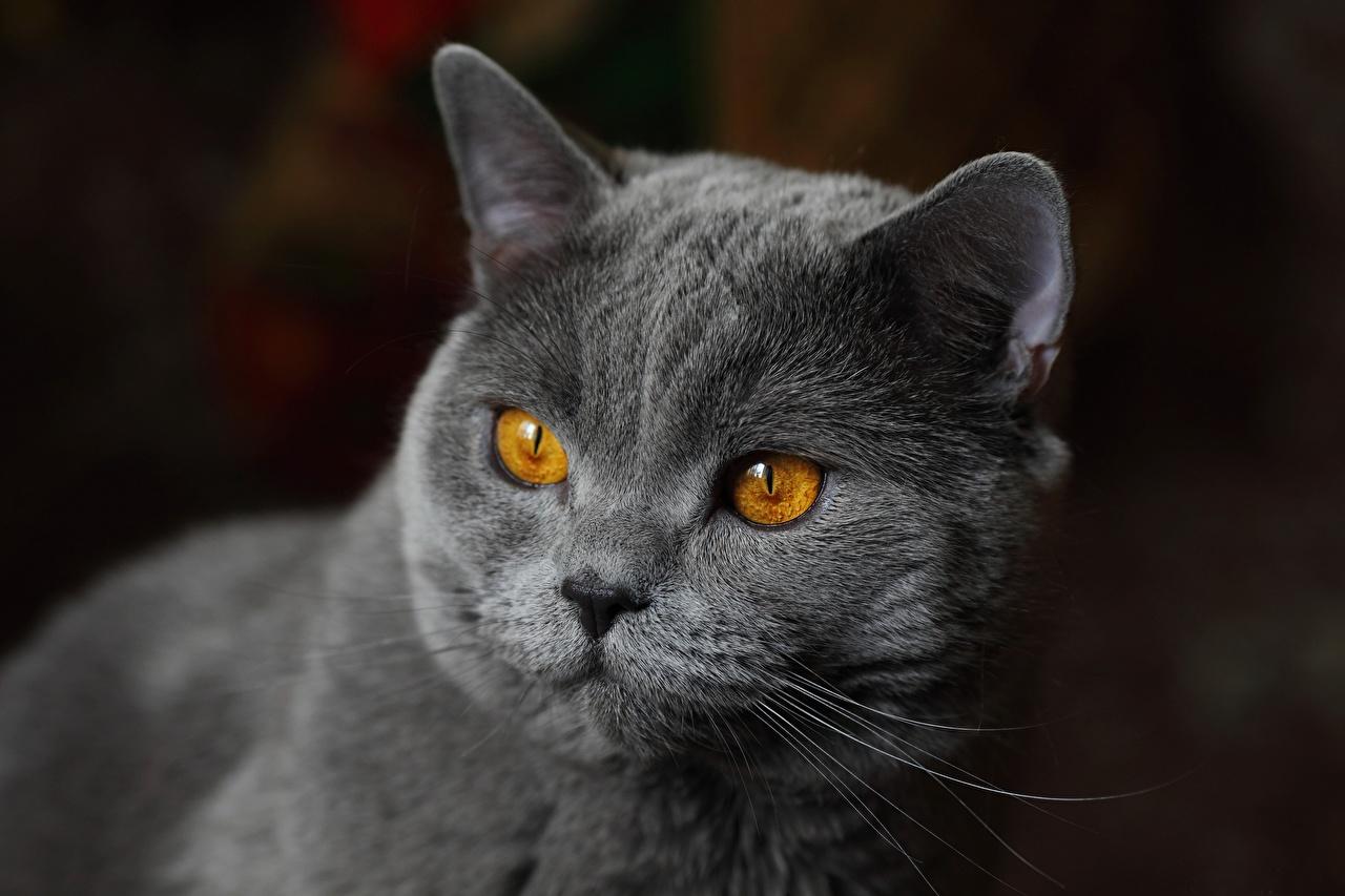 Fotos von Britisch Kurzhaar Katze graue Schnauze Tiere Starren Katzen Hauskatze Grau graues Blick ein Tier
