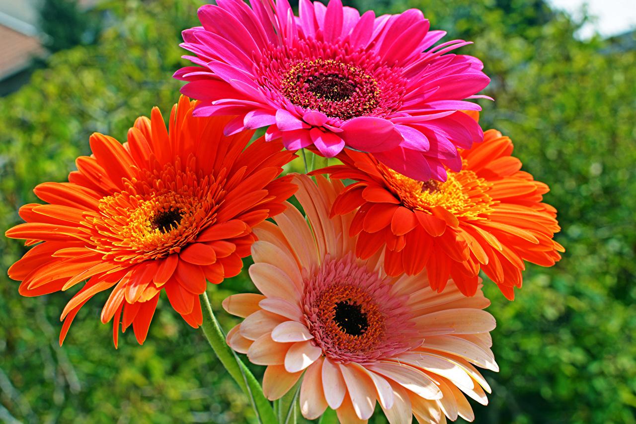 Images Gerberas Flowers Closeup gerbera flower