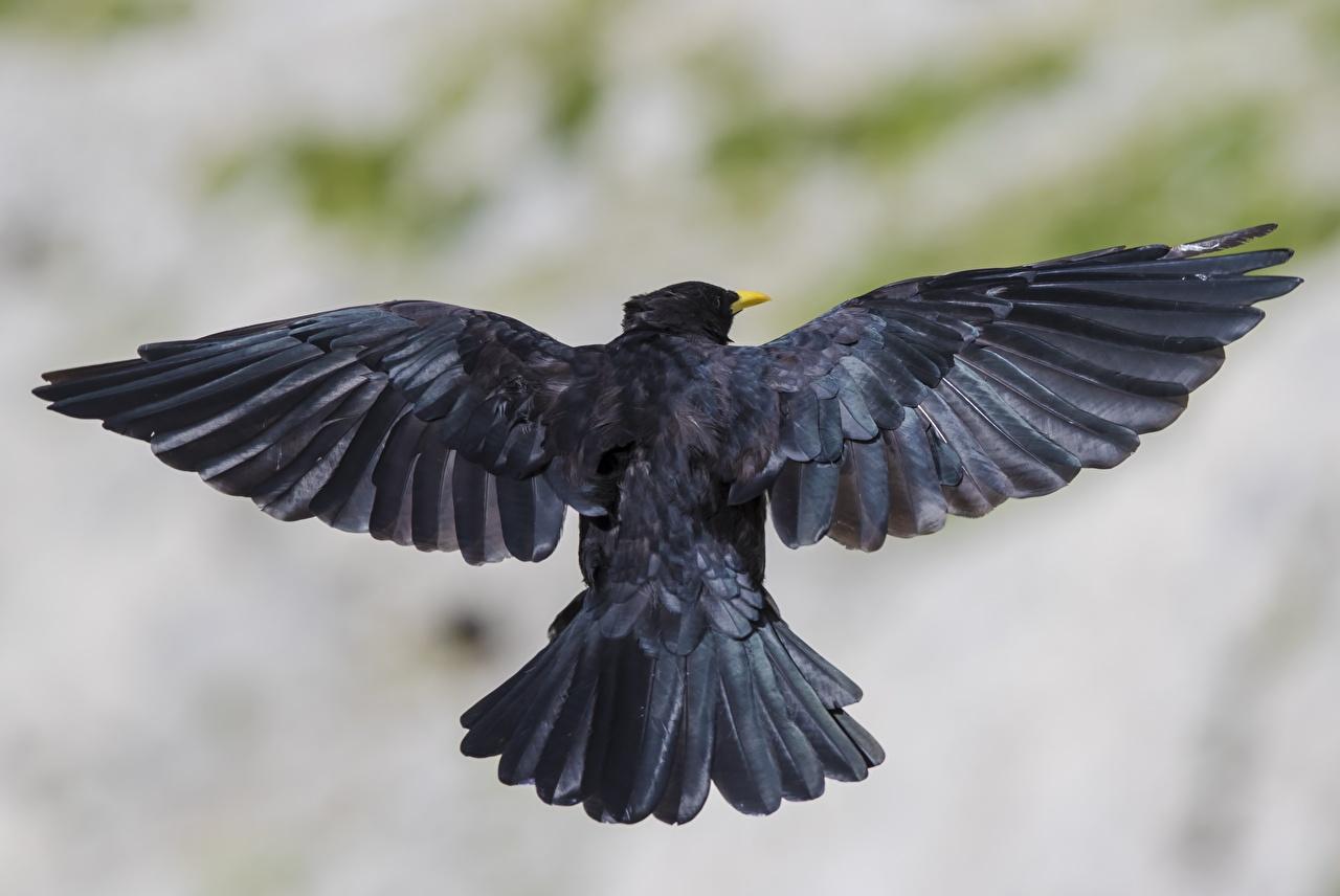 Sfondi del desktop Uccelli Ali di uccello Bokeh Nero Vista posteriore Animali aves uccello sfondo sfocato animale