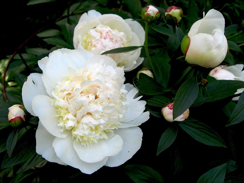 Fotos von Weiß Blumen Pfingstrosen hautnah Blütenknospe Blüte Knospe Nahaufnahme Großansicht