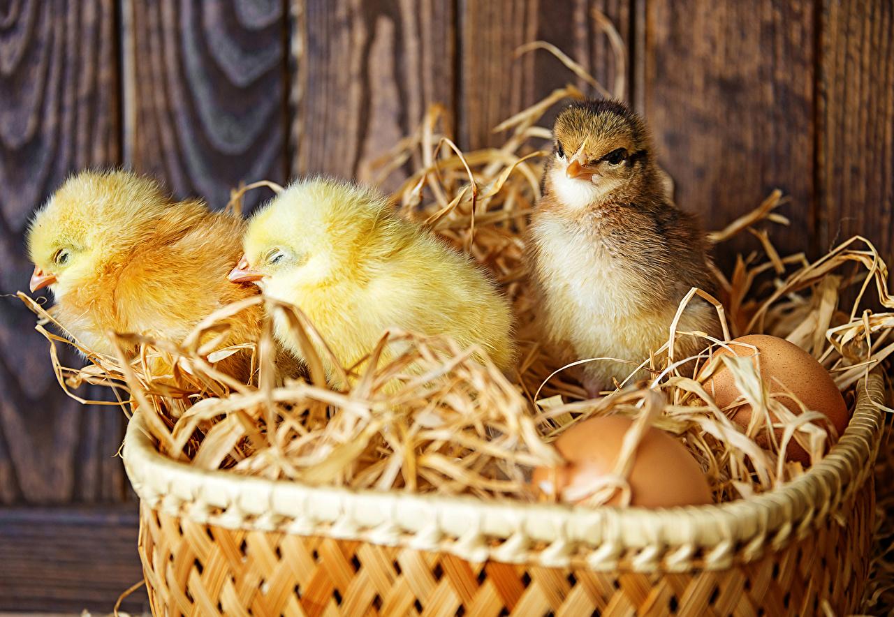 Photos bird Chicks egg Wicker basket Animals Birds Eggs animal