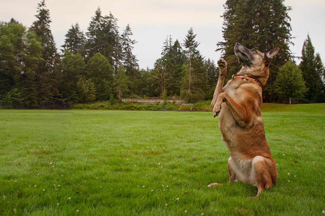 Hintergrundbilder Shepherd Hunde Gras Tiere ein Tier