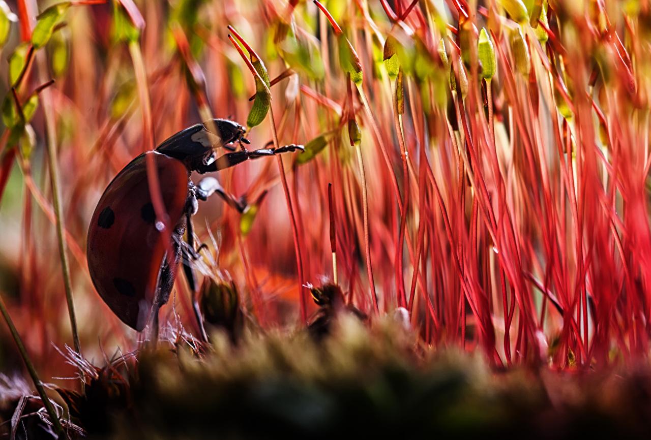Photo Lady beetle Insects Closeup Animals Ladybird Ladybugs Coccinellidae animal