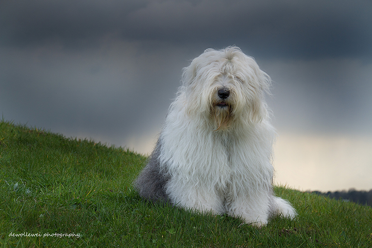 Picture Old English Sheepdog Dogs Lawn Grass Animals dog animal