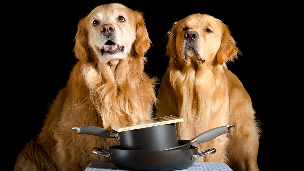 Bilder von Golden Retriever Hunde 2 Starren ein Tier Schwarzer Hintergrund hund Zwei Tiere Blick