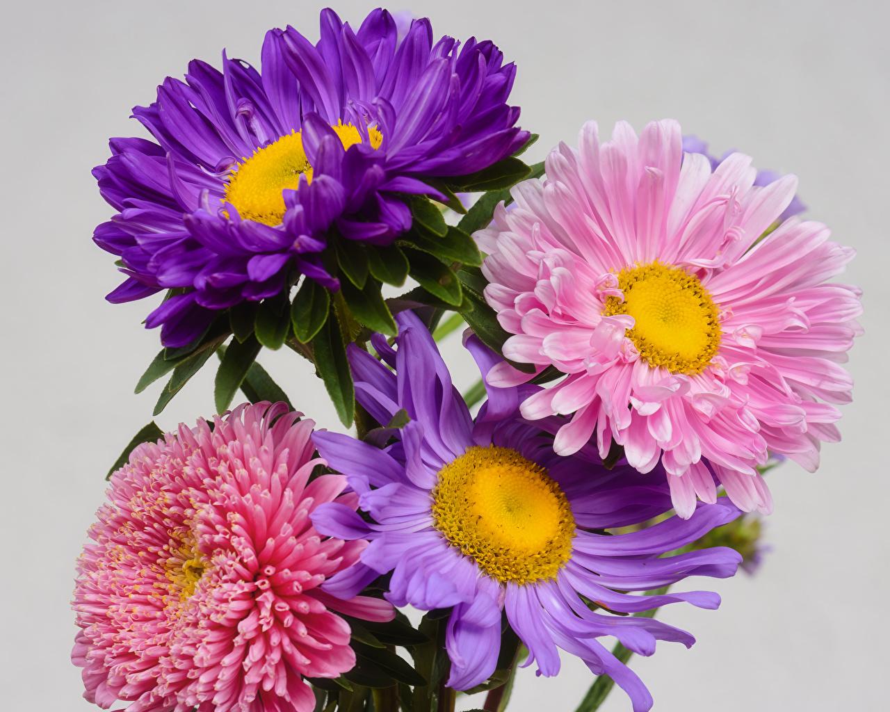 Asters De cerca Fondo gris Multicolor flor Flores