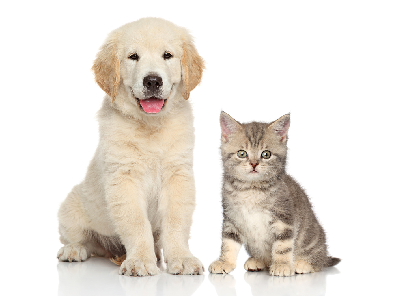 Image puppies Retriever kitty cat cat Dogs Two animal White background Puppy Kittens dog Cats 2 Animals