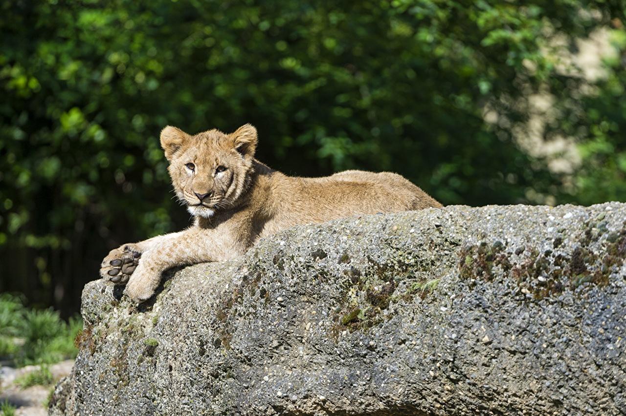 Achtergronden bureaublad Leeuwen Pantherinae Welpen Stenen Dieren leeuw jonge steen een dier