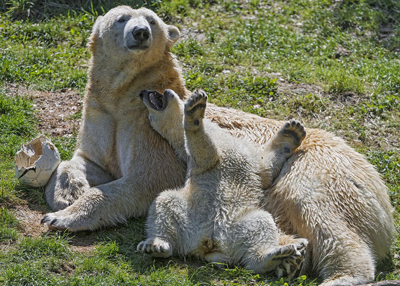 Fotos von Eisbär Bären Jungtiere 2 Tiere Zwei
