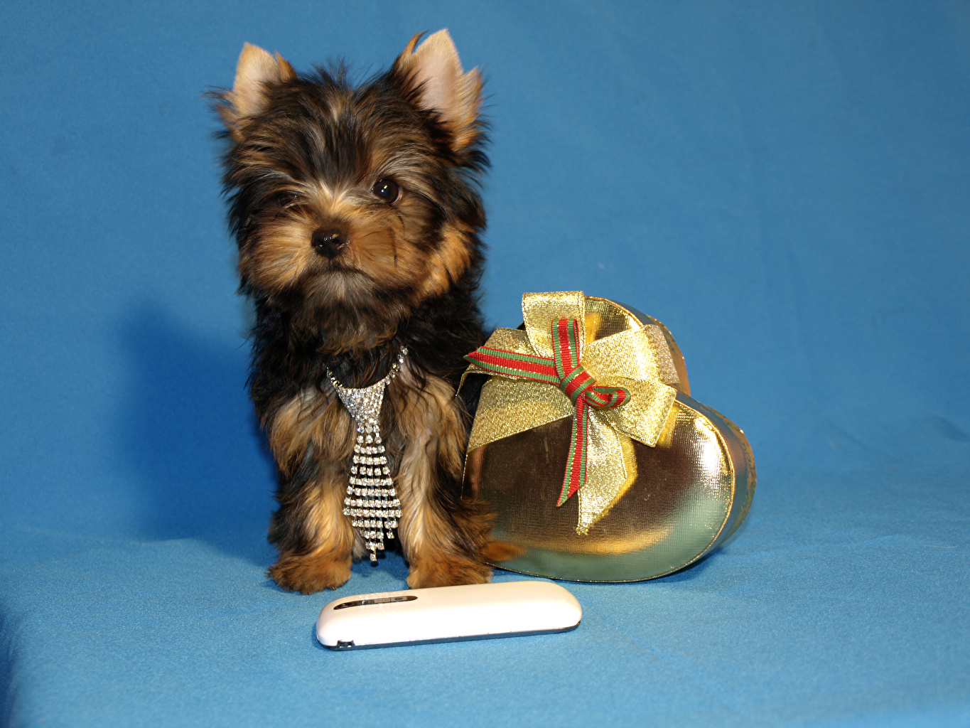 Wallpaper Puppy Yorkshire terrier Dogs Heart Necktie Bowknot animal Colored background puppies dog bow knot Animals