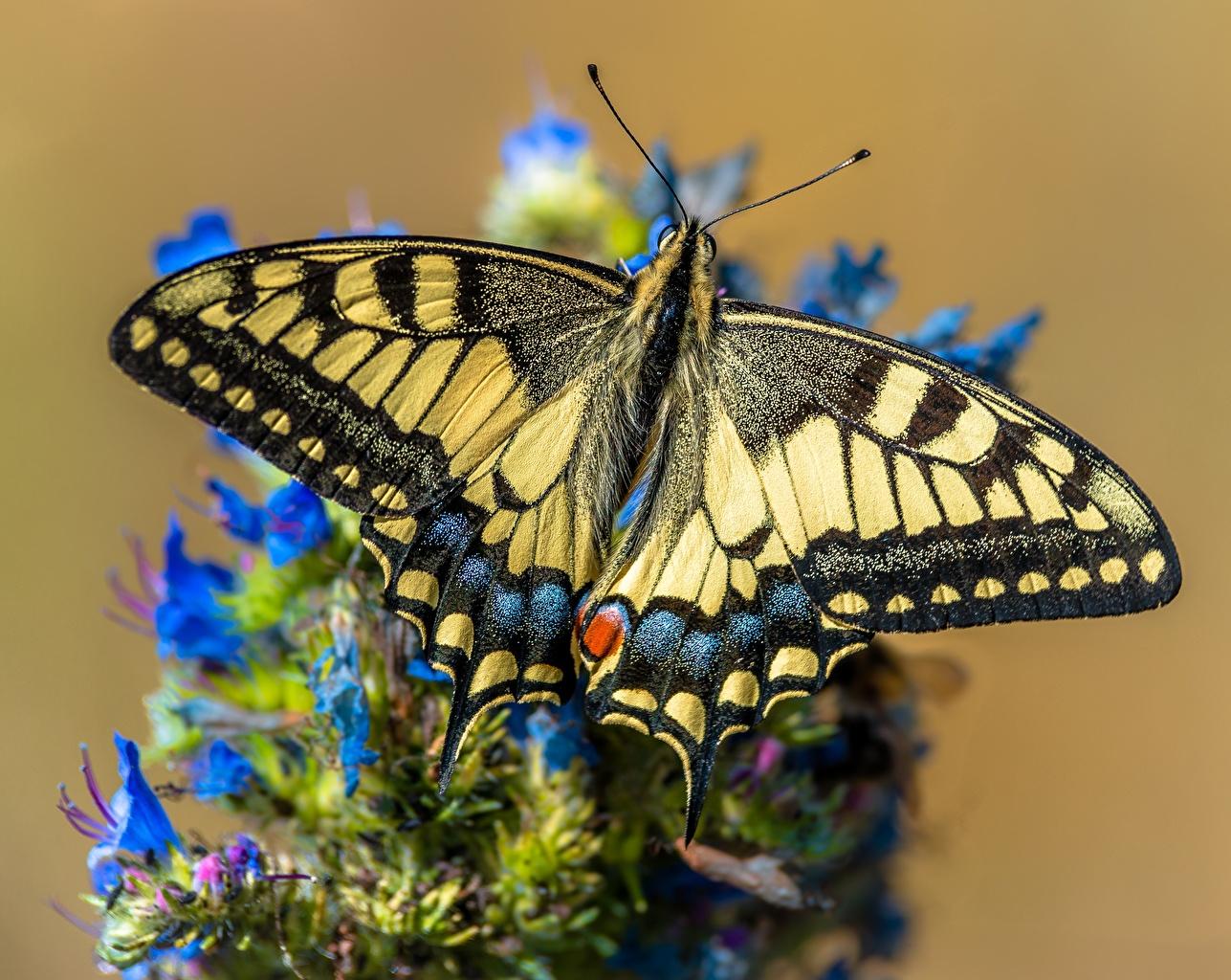 Desktop Hintergrundbilder Schmetterling Papilio machaon ein Tier Großansicht Schmetterlinge Tiere hautnah Nahaufnahme
