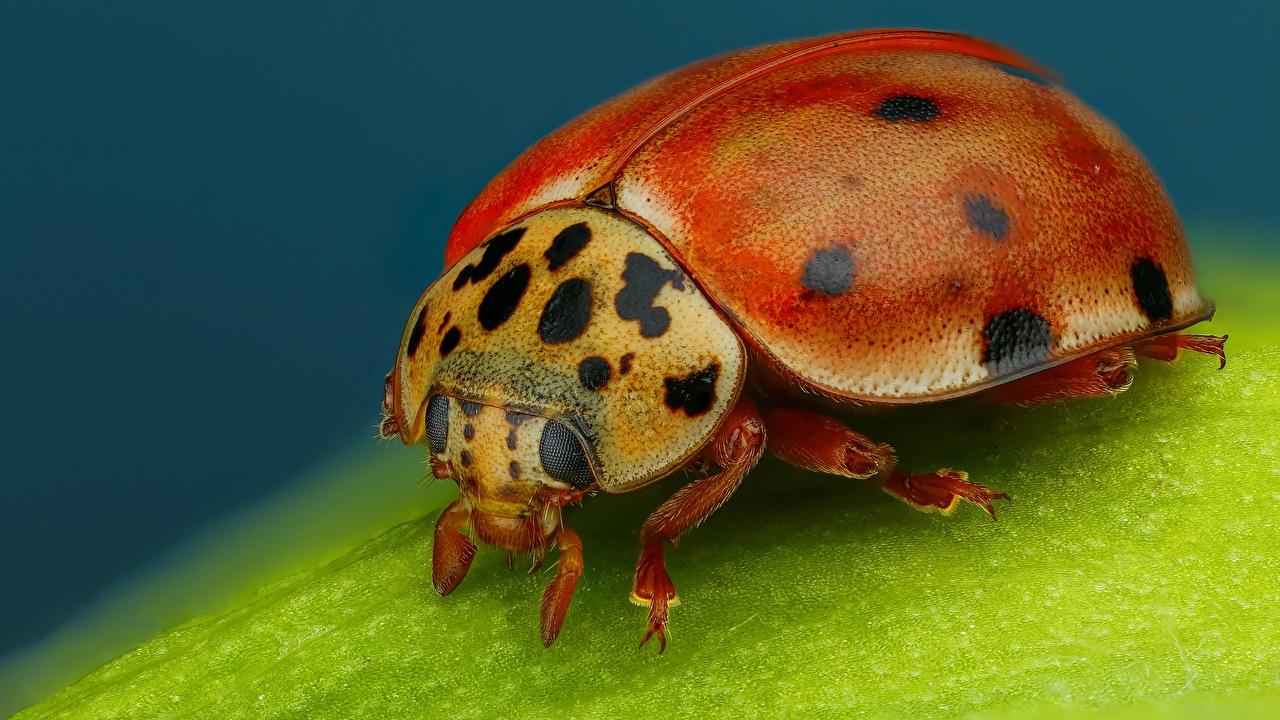 Photo Lady beetle Macro photography animal Closeup Ladybird Ladybugs Coccinellidae Macro Animals