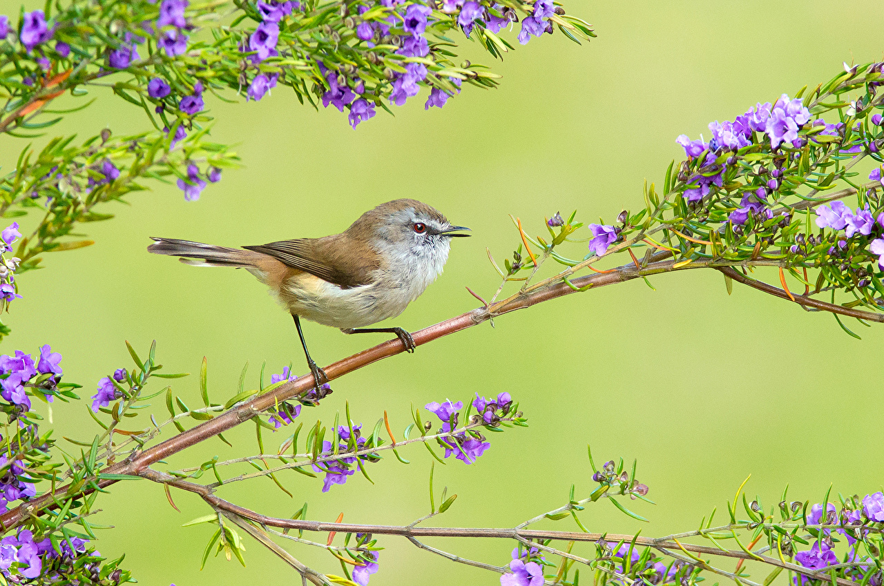 Images bird Brown Gerygone Branches Animals Colored background Birds animal