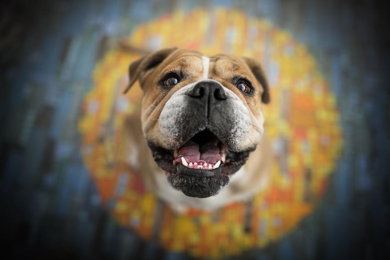 Photos Bulldog dog Bokeh Snout animal Dogs blurred background Animals