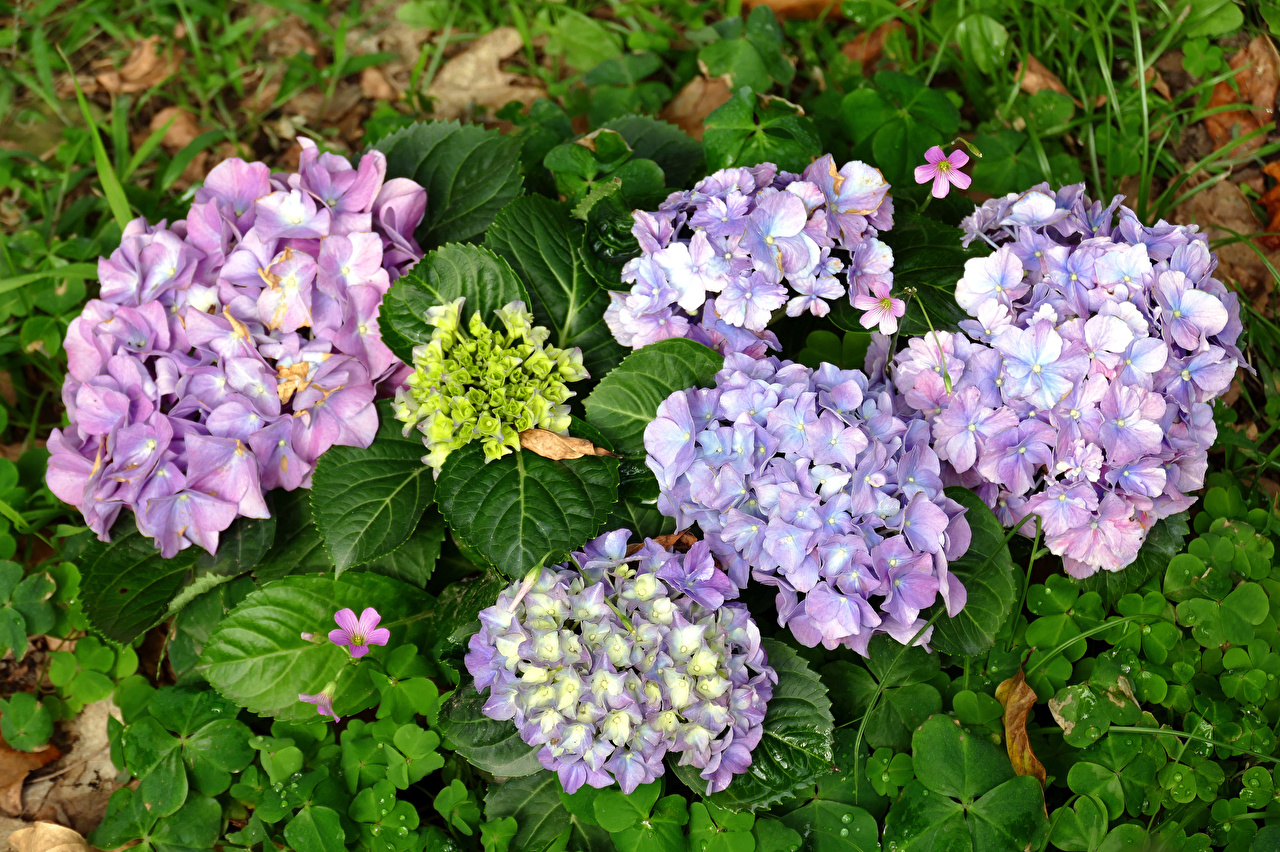 Pictures Flowers Hydrangea Closeup flower