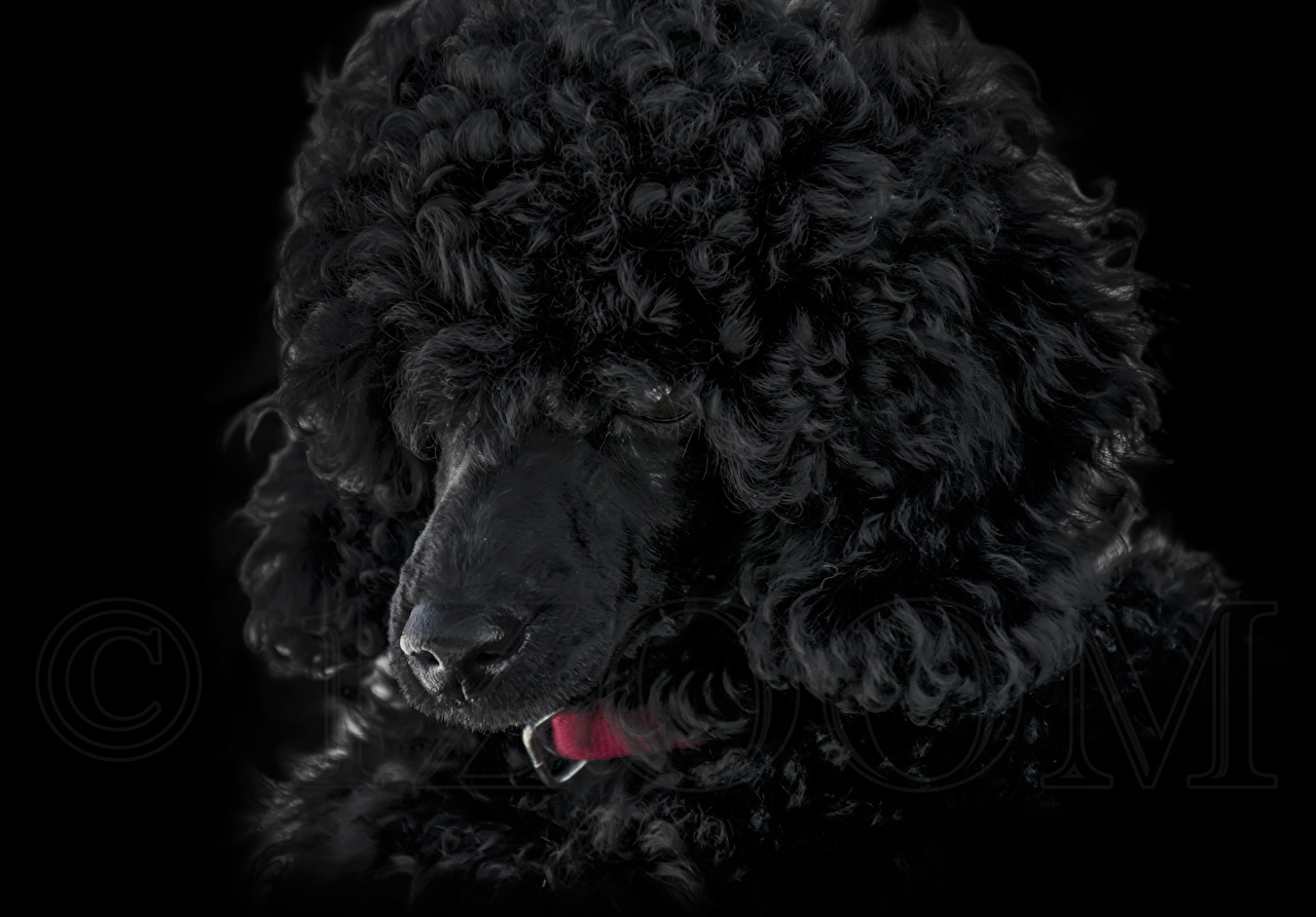 Images Poodle dog animal 1ZOOM Dogs Animals