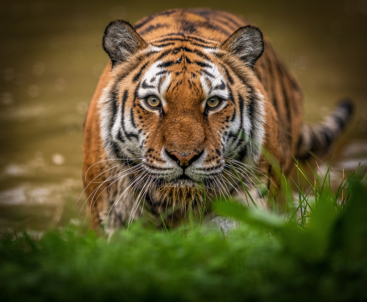 Картинка Тигры морды смотрят Животные тигр Морда Взгляд смотрит животное