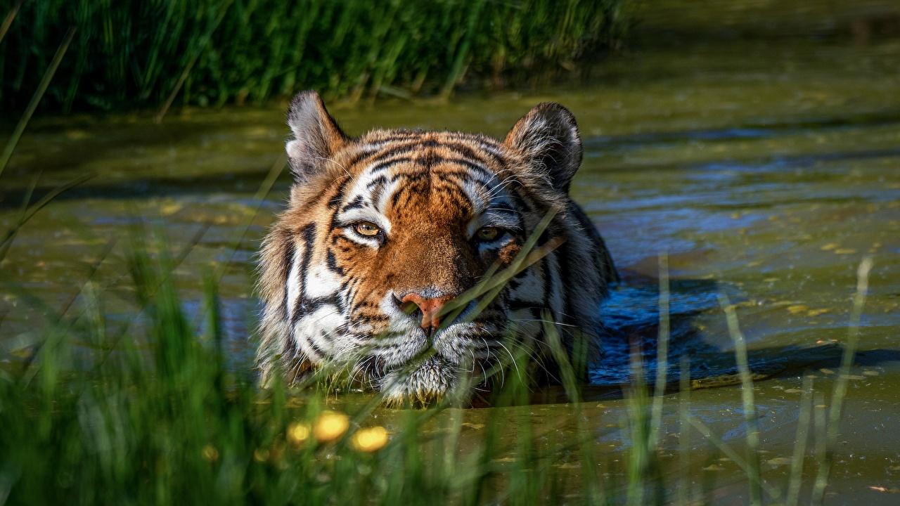 Photo Tigers Swamp Water Head animal tiger Animals