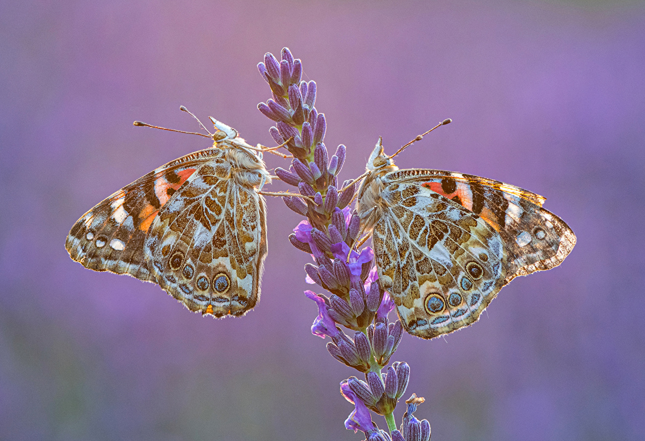 Pictures Insects butterfly Vanessa cardui 2 Lavandula animal Butterflies Two lavender Animals