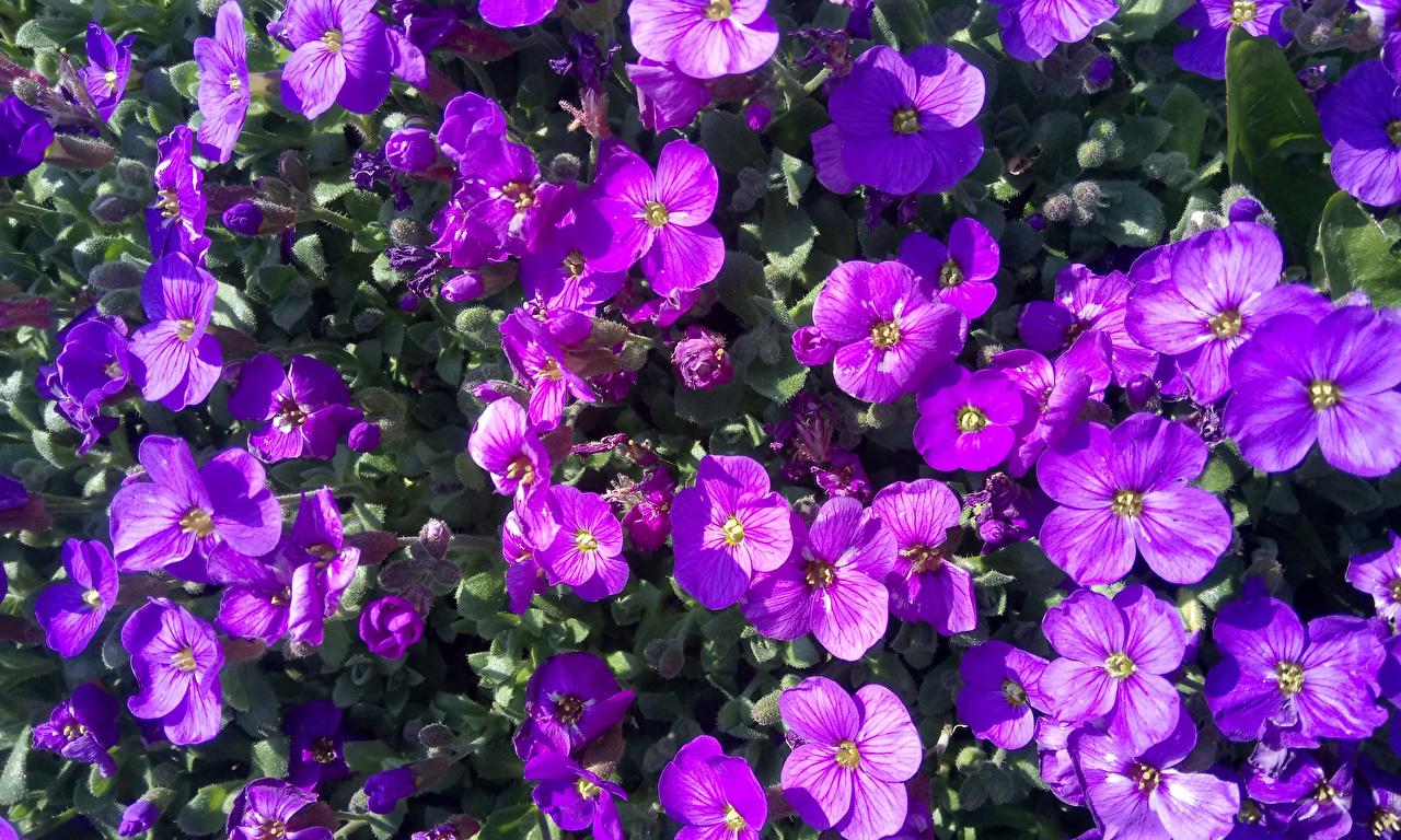 Desktop Hintergrundbilder Aubretia Violett Blüte Viel Großansicht Blumen hautnah Nahaufnahme