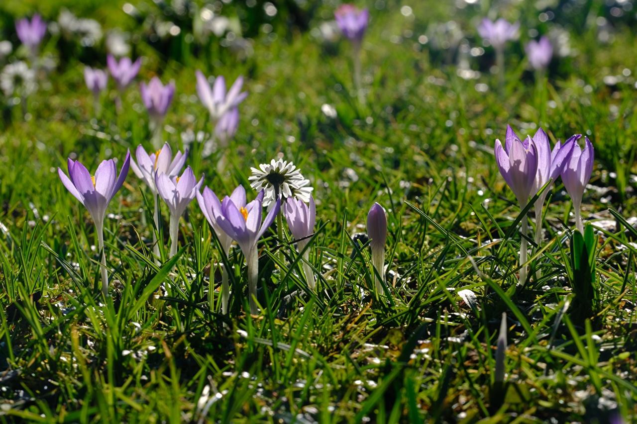 Fotos von Violett Frühling Blüte Krokusse Gras Blumen