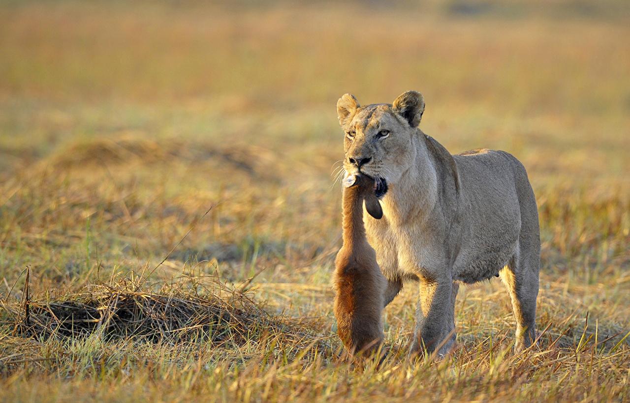 zdjęcie Lwy Trawa zwierzę lew afrykański Zwierzęta