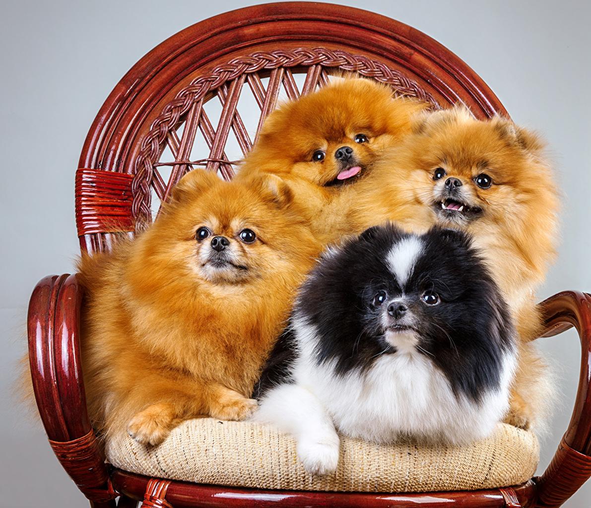 Image Pug Spitz dog Armchair animal Dogs Wing chair Animals