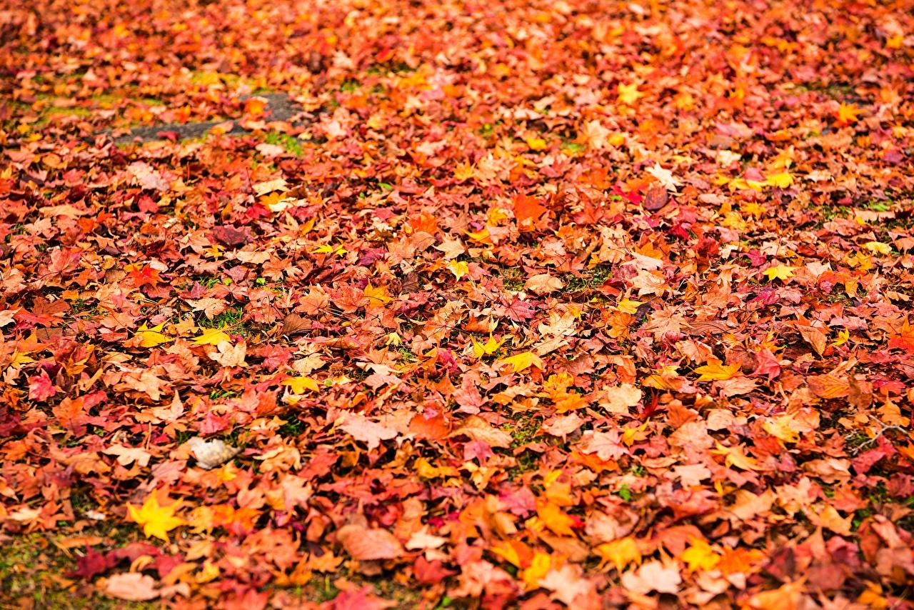 Photos Leaf Texture Maple Autumn Nature Many Foliage acer