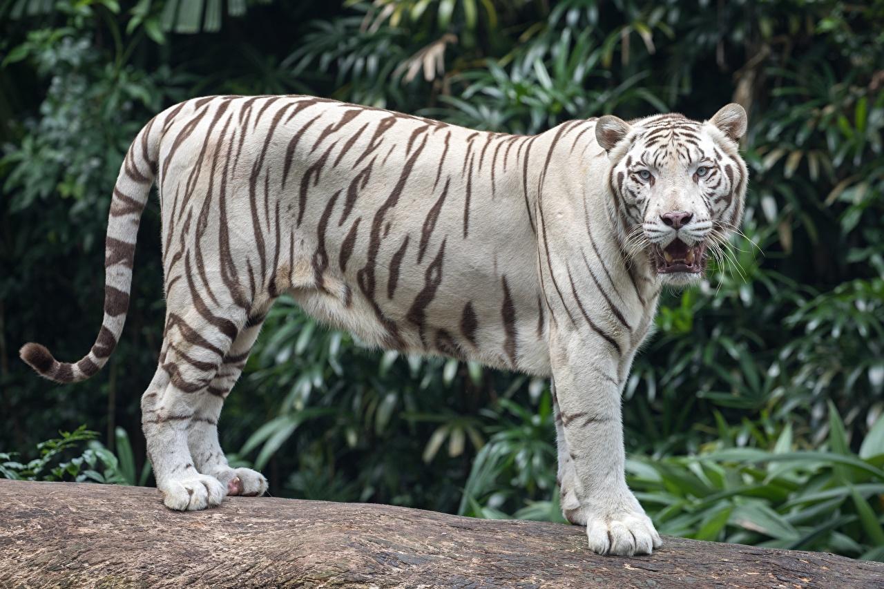 Images Tigers Bokeh Side Animals tiger blurred background animal