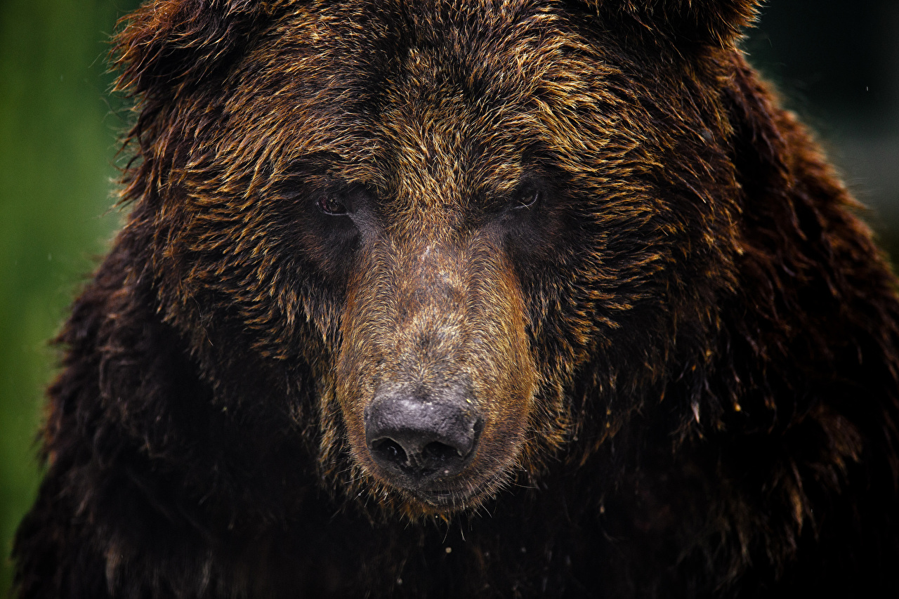 Desktop Wallpapers Grizzly Bears Snout Staring Animals Brown Bears bear Glance animal