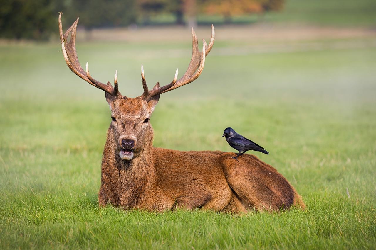 Fotos von Hirsche Aaskrähe Horn Tiere