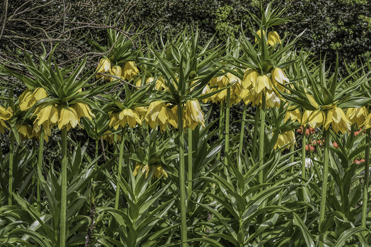 Picture Yellow flower Fritillaria Flowers