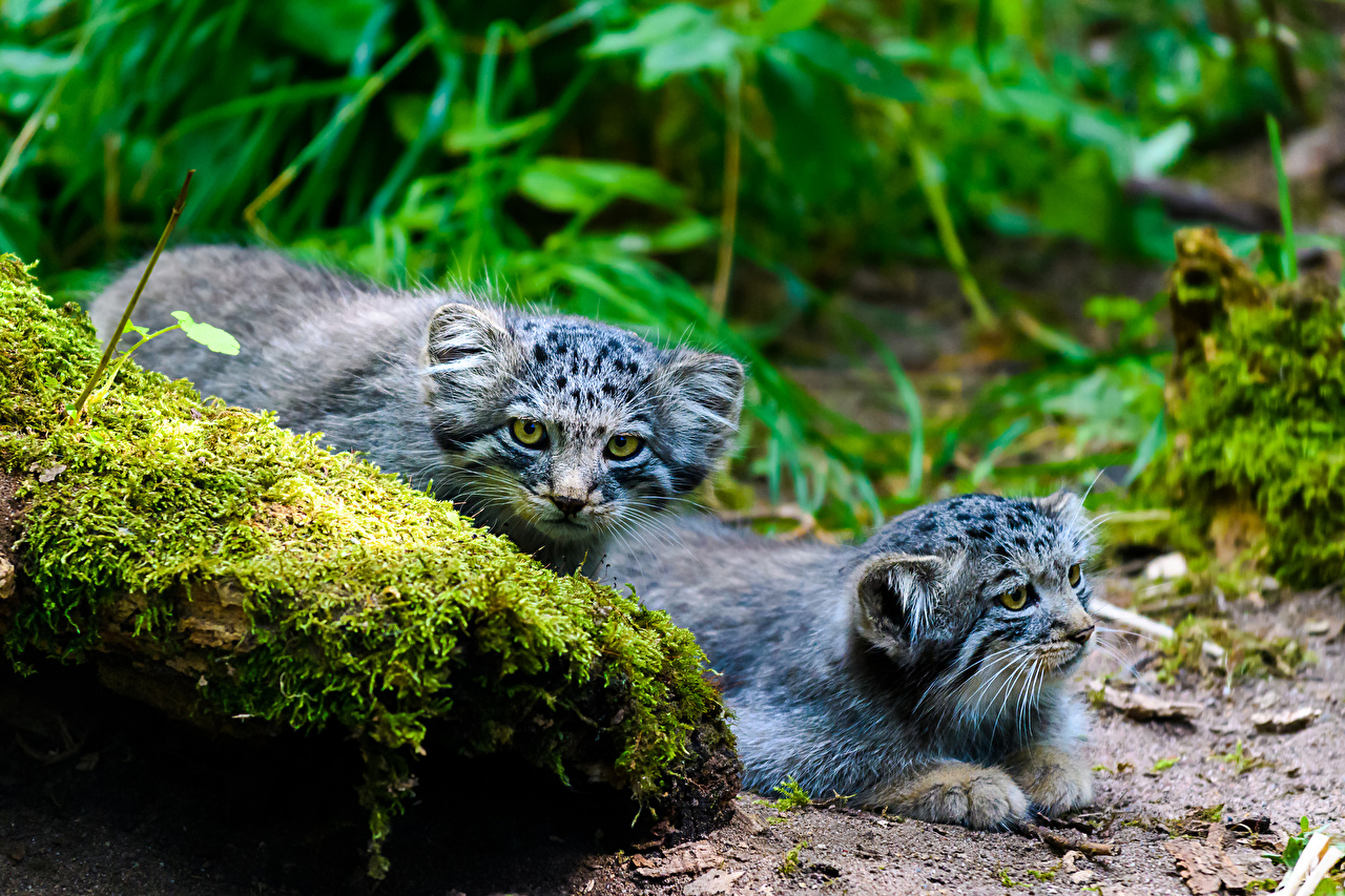 Photos Pallas Cat cat Two Moss stone animal Glance manul Cats 2 Stones Animals Staring