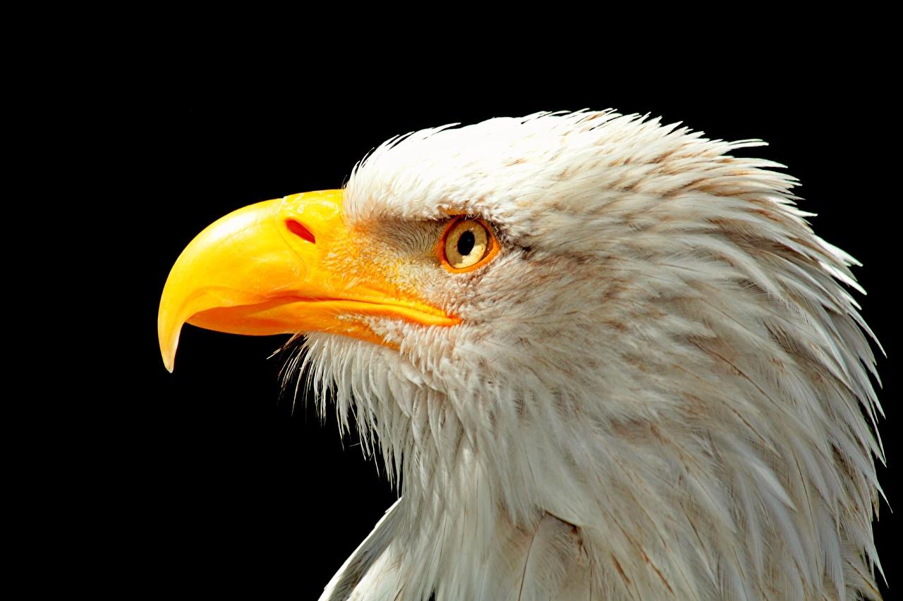 Photo Bald Eagle Birds Beak Head Closeup Animals Black background bird animal