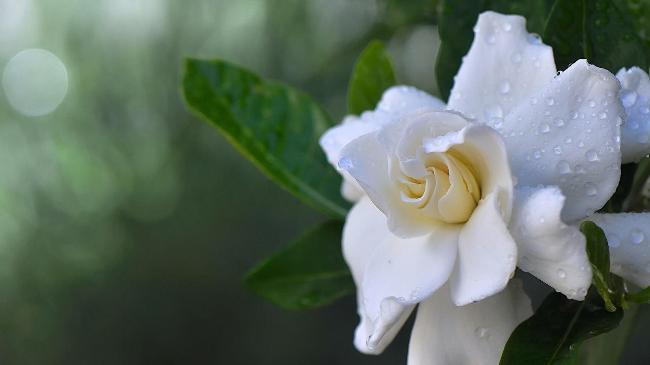 Picture White Drops Flowers Hydrangea Closeup flower