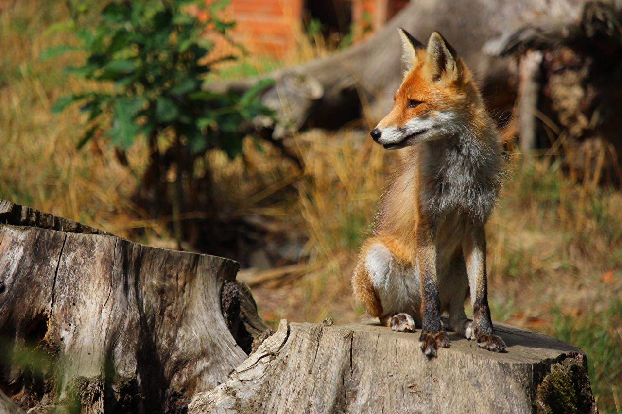 Photos Foxes Bokeh Ginger color Tree stump Sitting Animals blurred background red orange sit animal