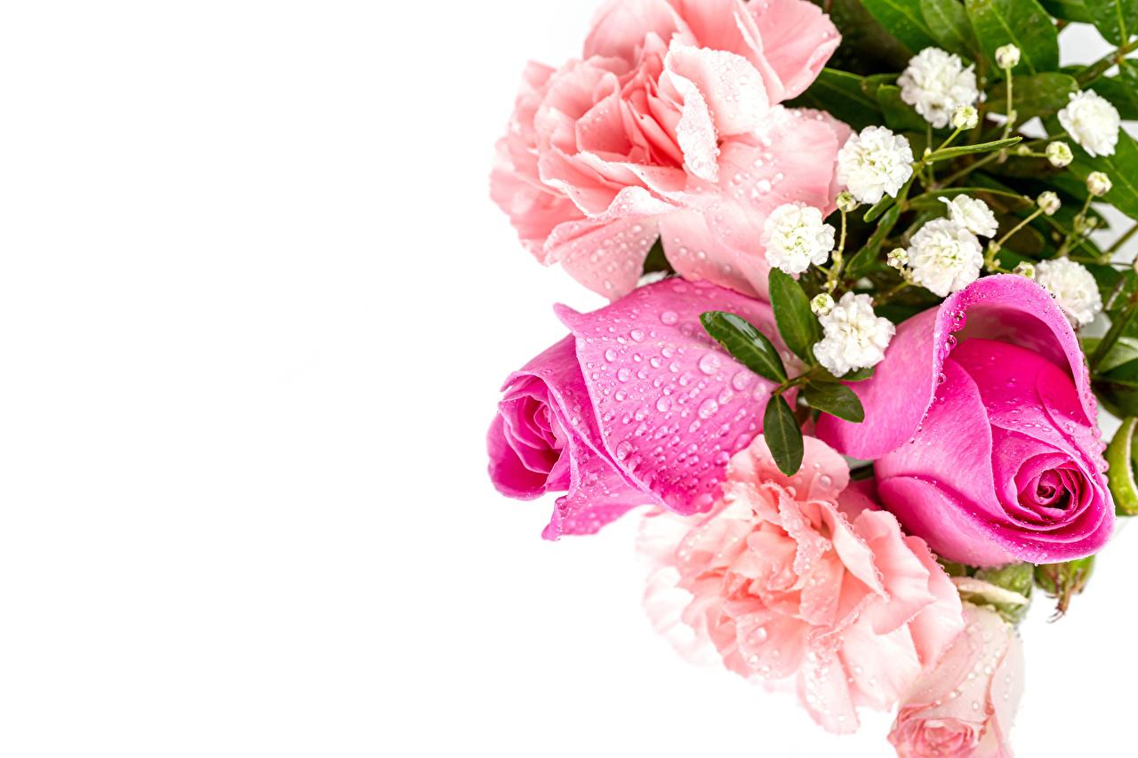 Skrivebordsbakgrunn rosa Rosa farge Dråper Blomster Gratulasjonskort Mal Hvit bakgrunn Roser Dråpe blomst