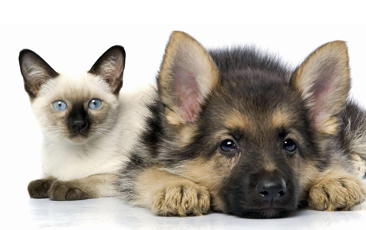 Bilder Shepherd Katze Hunde 2 Tiere Weißer hintergrund Zwei