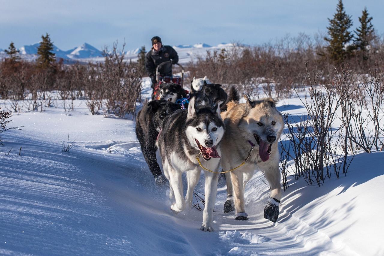 Foto Siberian Husky Hunde Lauf Weg Winter Schnee Tiere Laufen Laufsport