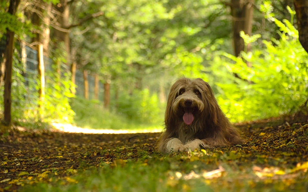 Desktop Wallpapers Dogs Bearded Collie Forests animal Staring dog forest Glance Animals