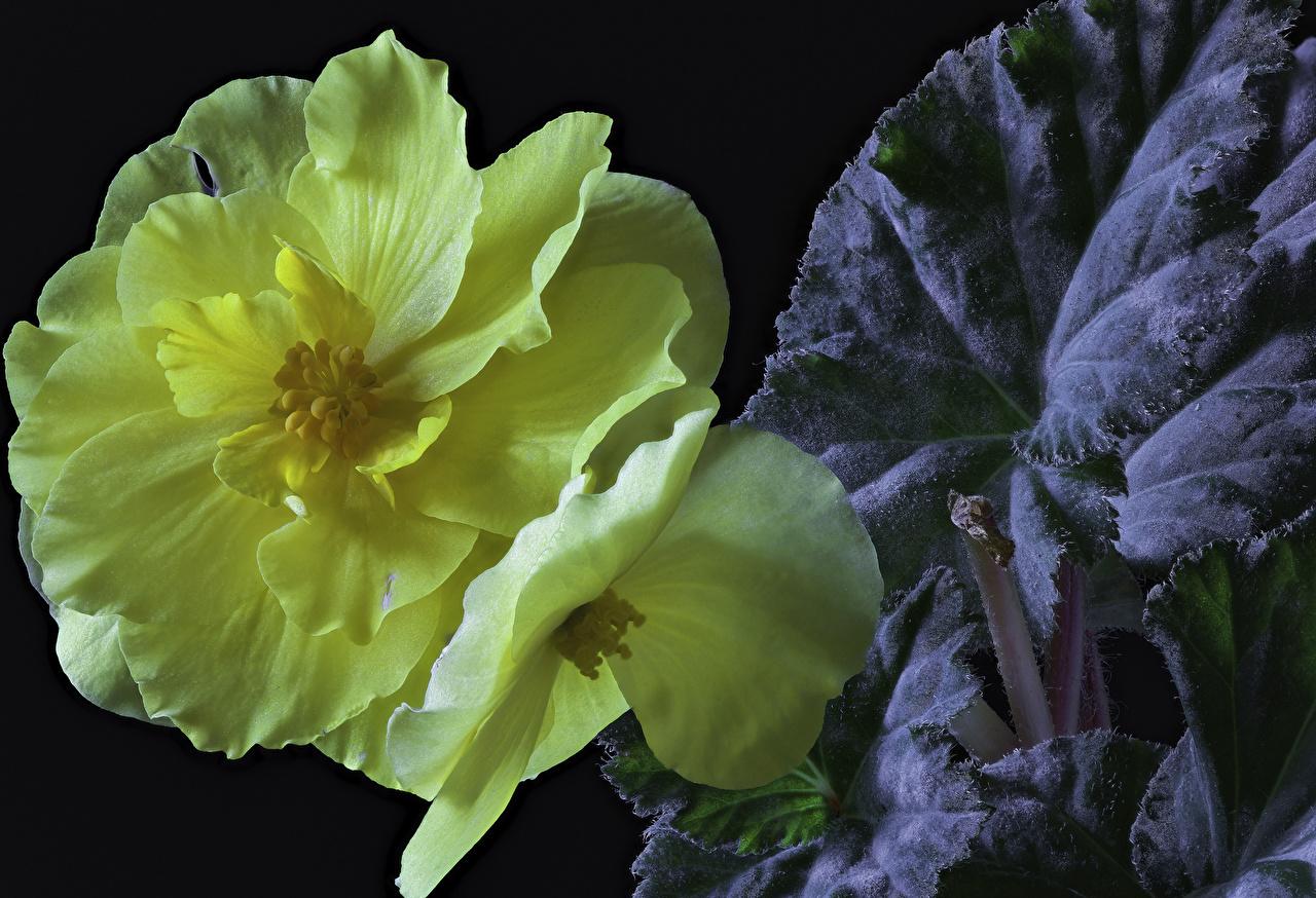 Desktop Wallpapers Yellow flower Begonia Closeup Black background Flowers