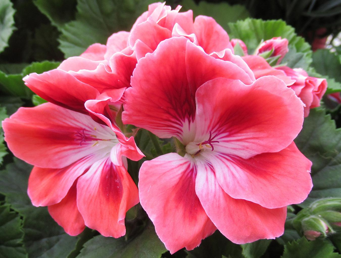 Fotos Rosa Farbe Blüte Geranien hautnah Blumen Storchschnäbel Nahaufnahme Großansicht