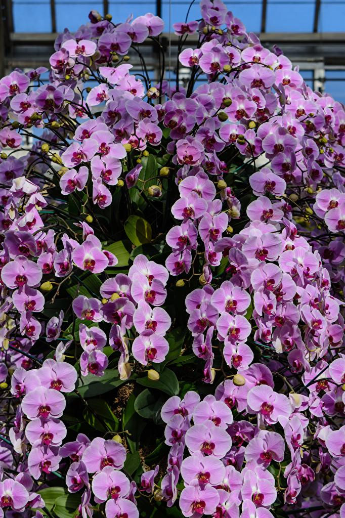 Fotos Violett Orchideen Blumen Viel