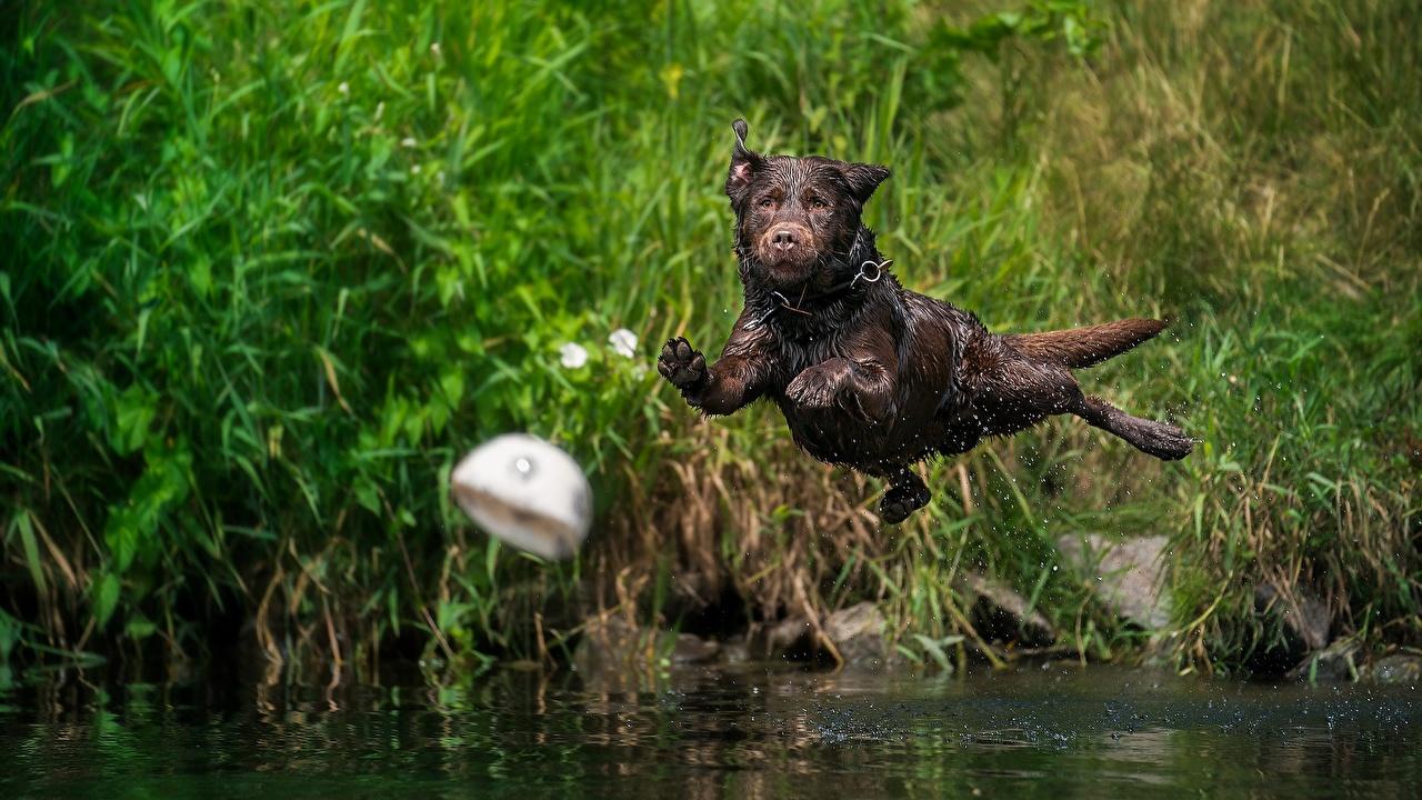 Desktop Hintergrundbilder Labrador Retriever Hunde Sprung Flug Nass ein Tier hund Tiere