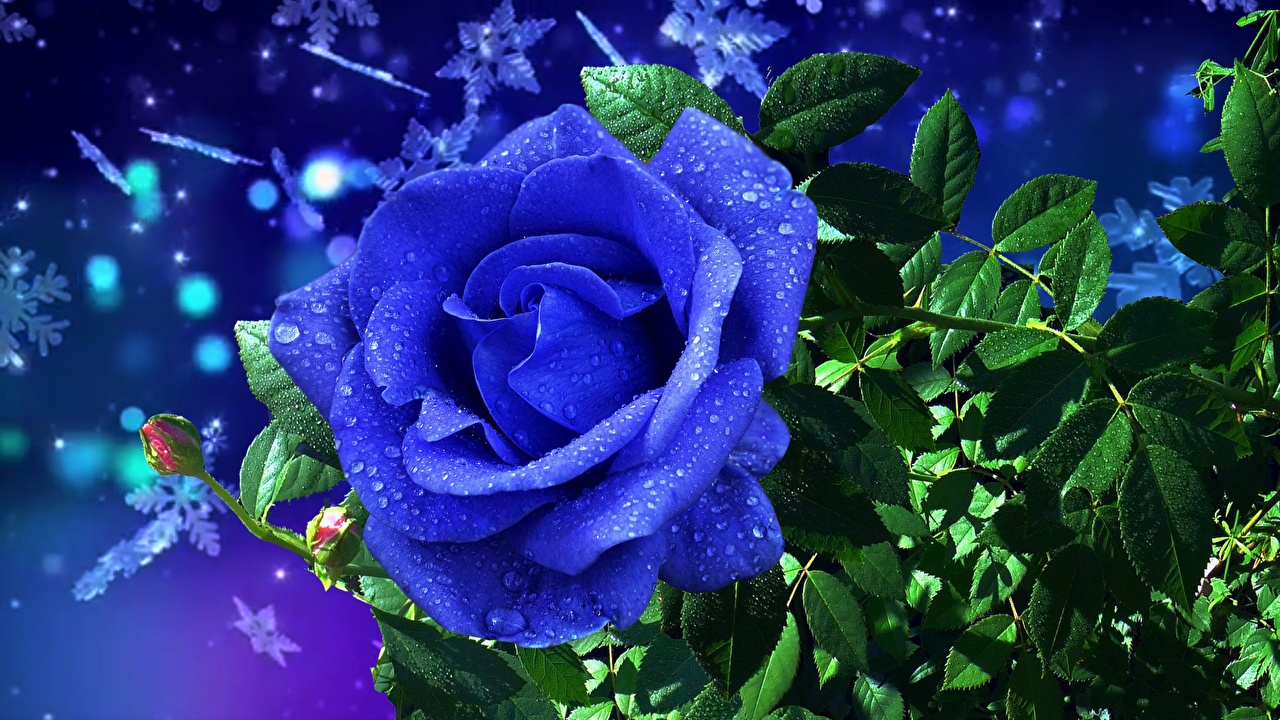 Wallpaper Blue Roses Drops Flowers rose flower