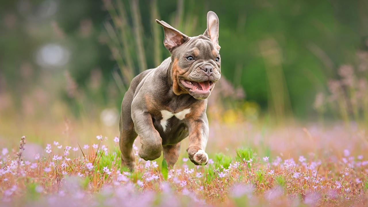 Photo Bulldog dog Run Bokeh Animals Dogs Running blurred background animal