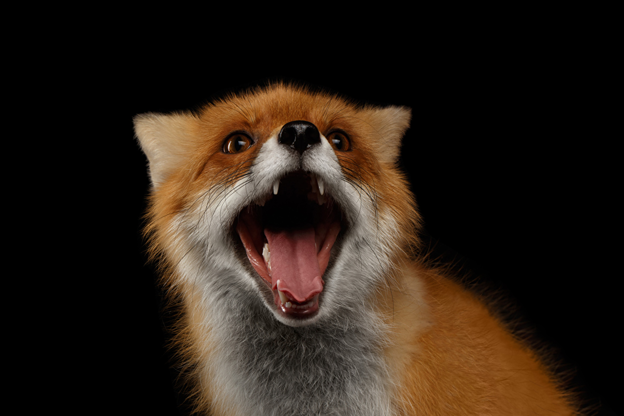 Photos Foxes scream Tongue Snout animal Black background Screaming Animals