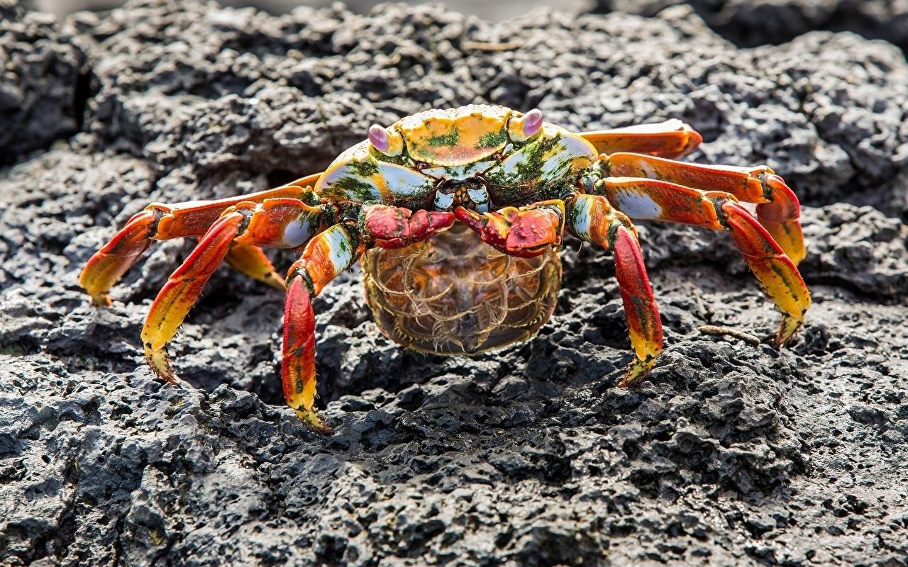 Bakgrunnsbilder til skrivebordet krabbe Leddyr Dyr Nærbilde Krabber - Dyr