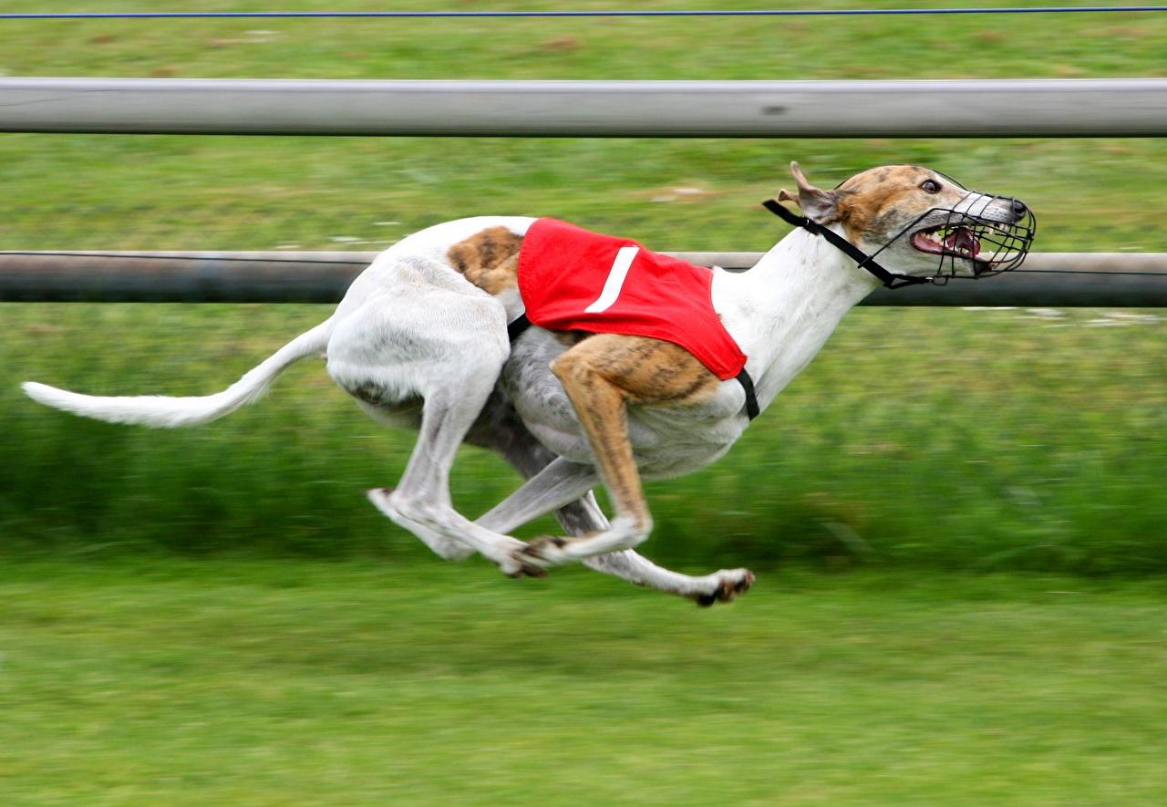 Image Greyhound Sighthound Dogs Run Grass Animals